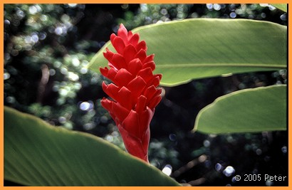 Hawaii Red Flower
